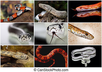 snake collage - a collage with some snakes non venomous