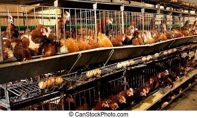 chicken farm - chickens in a small farm