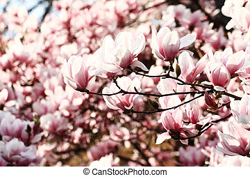Magnolia tree - Spring Blossoms of a Magnolia tree