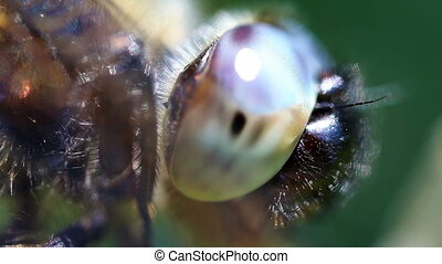 Multifaceted eye - dragonfly - Multifaceted eye of...