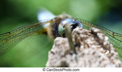 Broad-bodied Chaser - hiding - Broad-bodied Chaser -...