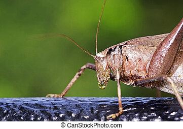 katydid is drinking water drop