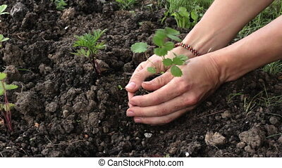 Beginning of life - Female hands carefully plant sprouts