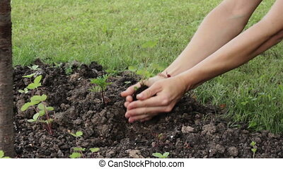 Hands planting sprout. - Female hands with sprout.