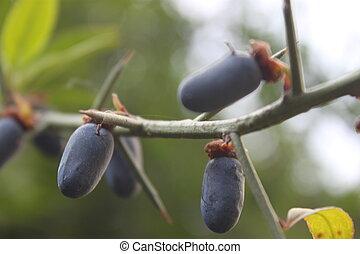 wild Fruit - Himalayan wild fruits
