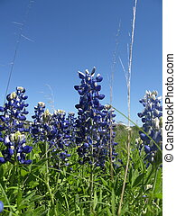Texas Bluebonnets - Texas Hill Country Bluebonnets