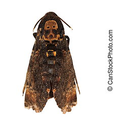 Death's Head Hawkmoth (Europe) - Death's Head Hawkmoth...