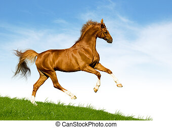 Horse runs in field - Chestnut horse gallops on a green hill...