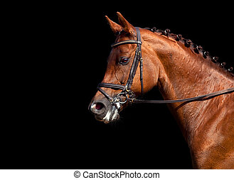 Horse head isolated on black - Chestnut horse dressage...