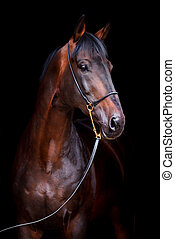 Horse head isolated on black - Trakehner horse portrait on...