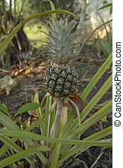 pineapple plant - Pineapple plant growing in village back...