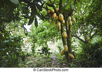 Wild cacao tree - A wild cacao tree growing in a small...