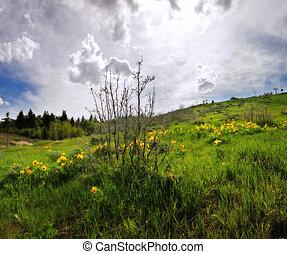 Yellow Arrowleaf Balsamroot wildflowers blooming on Park City, Utah, ski slopes in spring