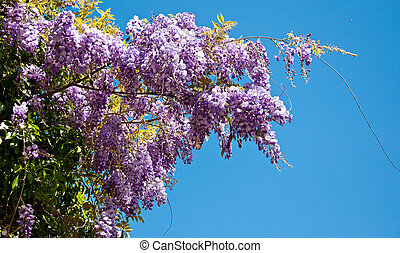 lilac wistaria - beautiful lilac wistaria flower on...
