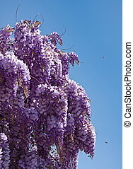 wistaria - beautiful lilac wistaria flower on blue sky...