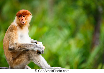 Proboscis monkey - Young male proboscis monkey in a wild on...
