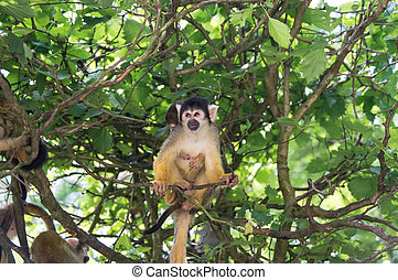Squirrel monkey Apenheul, the Netherlands
