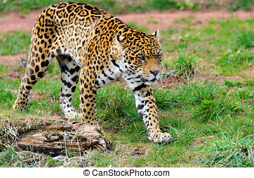 Jaguar Stalking Prey - Jaguar (Panthera onca) walking...