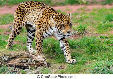 Jaguar Stalking Prey - Jaguar (Panthera onca) walking...