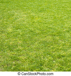 Green grass field - Clean green grass field background as a...