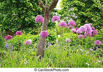 A group of beautiful allium flowers in the garden