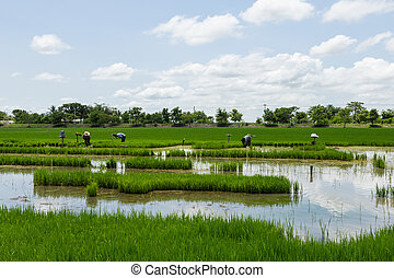 Landscape rice field