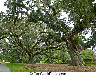 Majestic Oak - A close-up of a large live oak tree on a...