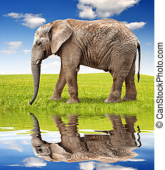 African elephant on meadow