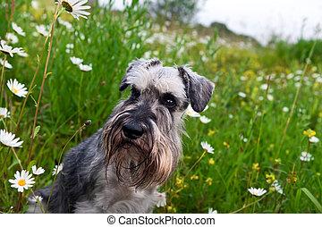 zwergschnauzer and camomile flowers - cute zwergschnauzer...