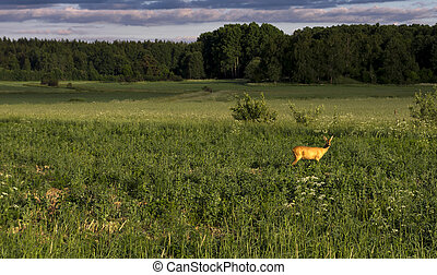Roe deer in morning - Roe deer in green field with sunlight...