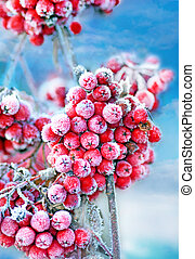 Frozen rowan berries -  Red frozen rowan berries on blue sky