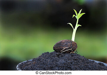 Young othalanga sprout seed on plant pot