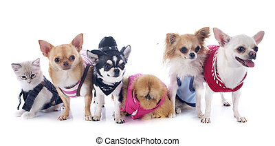 chihuahuas, kitten and chicken in front of white background
