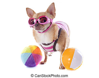 beach chihuahua - portrait of a cute purebred chihuahua with...