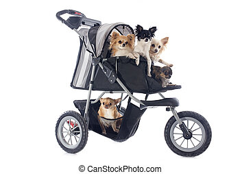 chihuahuas in pushchair - portrait of a cute purebred...