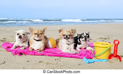 chihuahuas on the beach - portrait of a cute purebred...