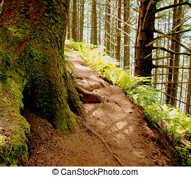 Shady path along a forest trail - Close up of redwood trees,...