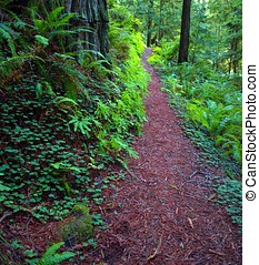 Hiking path through forest and ferns - Hiking trail through...