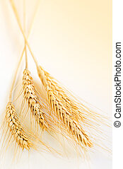 Wheat ears - Ripe wheat ears close up with copy space