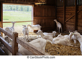 goals in barn - seasonal image of dutch farm live