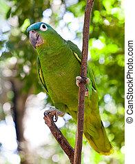 bonito, coloridos, Papagaio