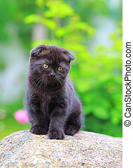 Scottish small kitten sitting on stone on summer background