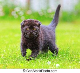 Beautiful scottish shocolate kitten looking on green summer grass