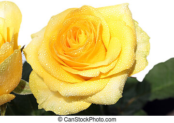 yellow rose flower with water drops on the petals