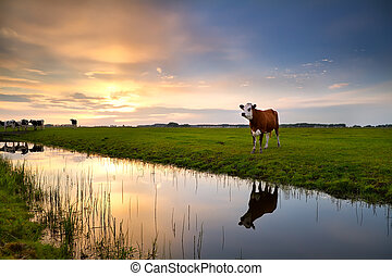 red cow by river at sunset - red cow on pasture by river at...