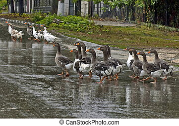 Group of ducks - Gathering of group ducks in torrential rain