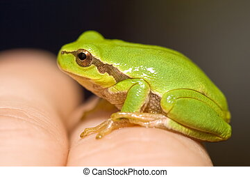Green frog - Small green frog sitting on man\\\'s hand