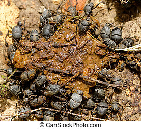 excremento, escarabajos, excreta
