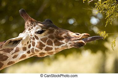 Giraffe Eating - Giraffe eating leaves.