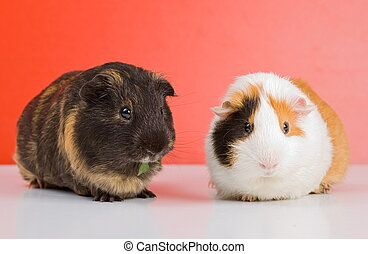 Black guinea pig - Pair of guinea pigs sitting over red...